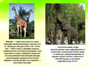 Тысячелетиями люди использовали силу африканских и азиатских слонов для своих