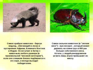 Самое храброе животное - барсук медоед , обитающий в лесах и кустарниках Афри