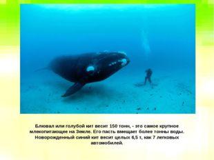 Блювал или голубой кит весит 150 тонн, - это самое крупное млекопитающее на З