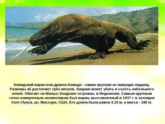 Комодский варан или дракон Комодо - самая крупная из живущих ящериц. Размеры...