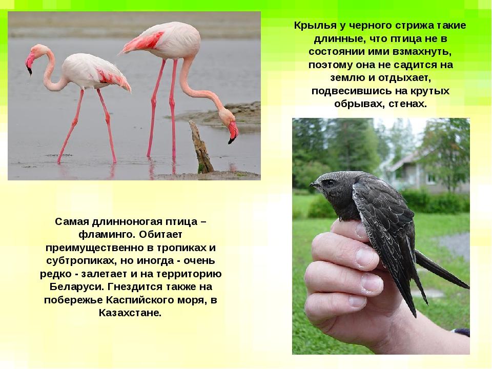 Самая длинноногая птица – фламинго. Обитает преимущественно в тропиках и субт...