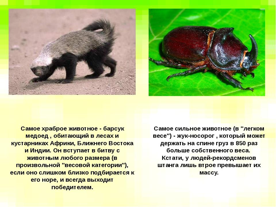 Самое храброе животное - барсук медоед , обитающий в лесах и кустарниках Афри...