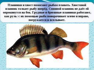 Плавники и хвост помогают рыбам плавать. Хвостовой плавник толкает рыбу впер