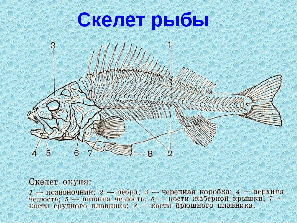 Классы отряды рыб их особенности