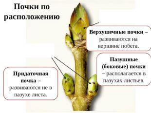 Вегетативная (листовая) почка – развиваются вегетативные побеги. Почки по стр