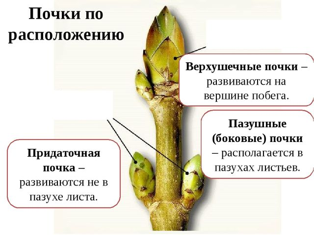Вегетативная (листовая) почка – развиваются вегетативные побеги. Почки по стр...