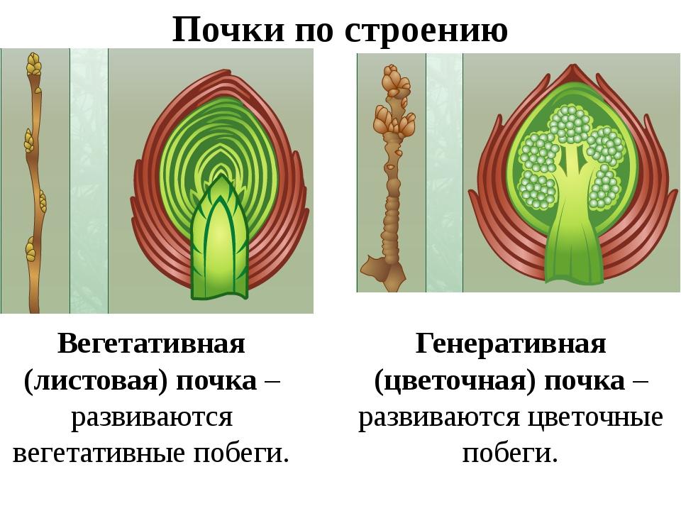 картинка строение почки растения чтобы добиться привлекательности