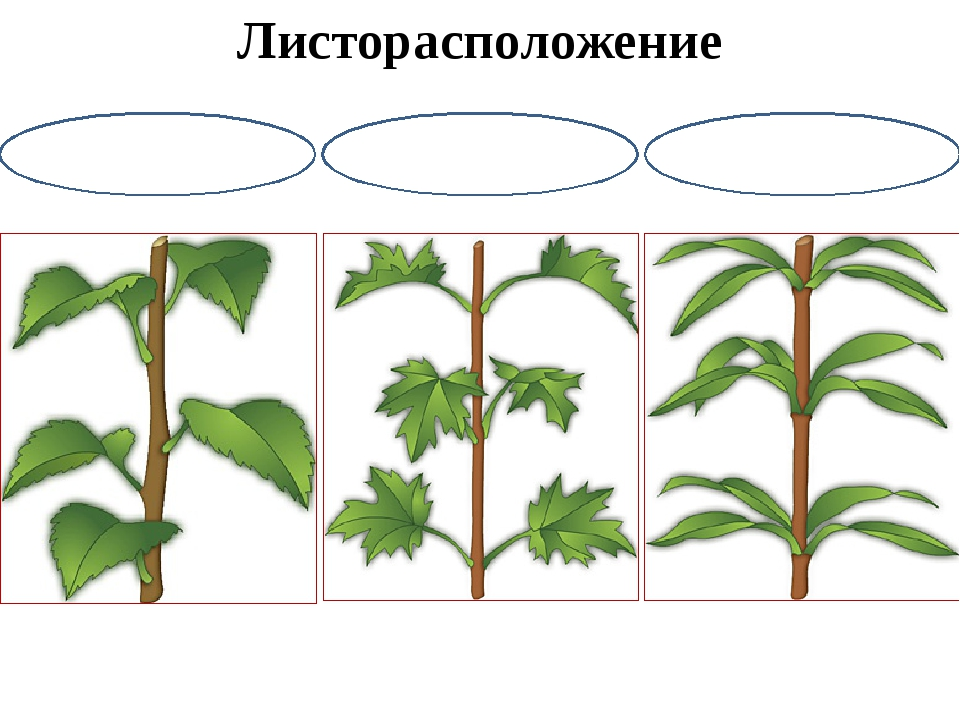 Листорасположение у растений в картинках знанием дела