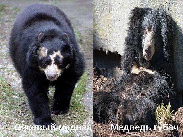 Очковый медведь Медведь губач