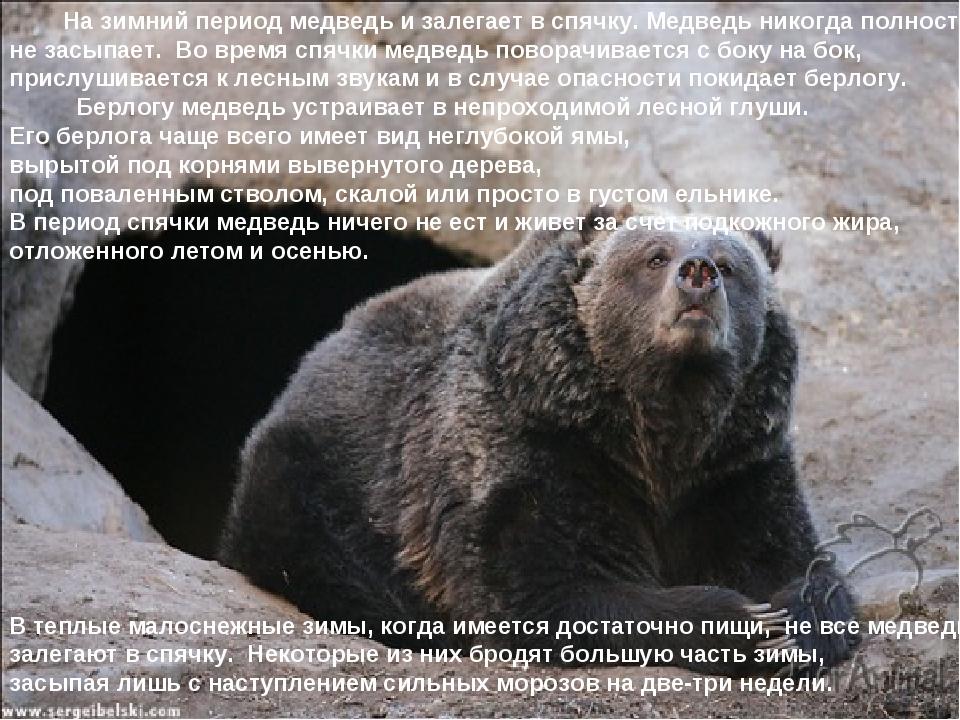 На зимний период медведь и залегает в спячку. Медведь никогда полностью не з...
