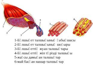 1-Бұлшықет талшығының қабықшасы 2-Бұлшықет талшығының шоғыры 3-Бұлшықеттің жу