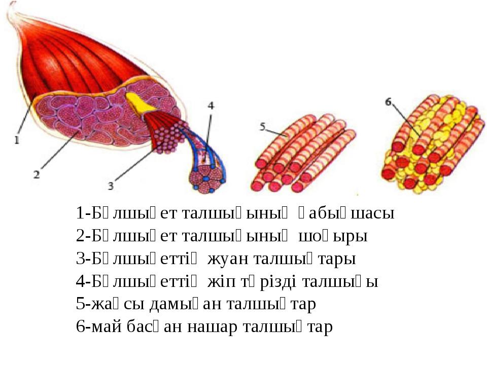 1-Бұлшықет талшығының қабықшасы 2-Бұлшықет талшығының шоғыры 3-Бұлшықеттің жу...