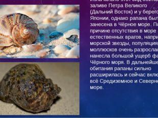Рапана — вид хищных брюхоногих моллюсков. Изначально этот вид обитал в заливе