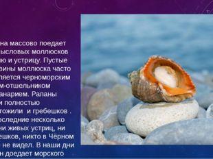 Рапана массово поедает промысловых моллюсков мидию и устрицу. Пустые раковины