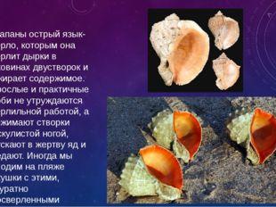 У рапаны острый язык-сверло, которым она сверлит дырки в раковинах двустворок