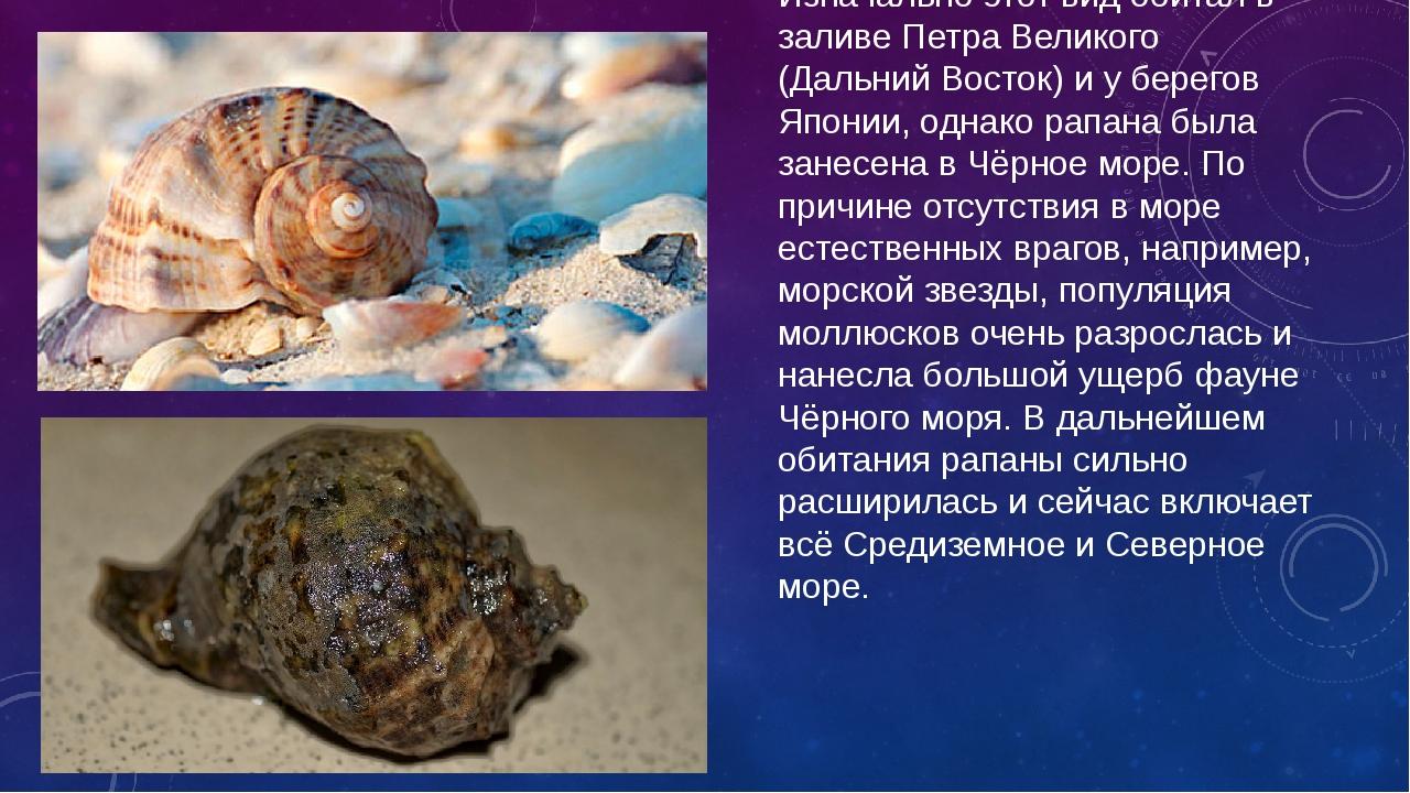 Рапана — вид хищных брюхоногих моллюсков. Изначально этот вид обитал в заливе...