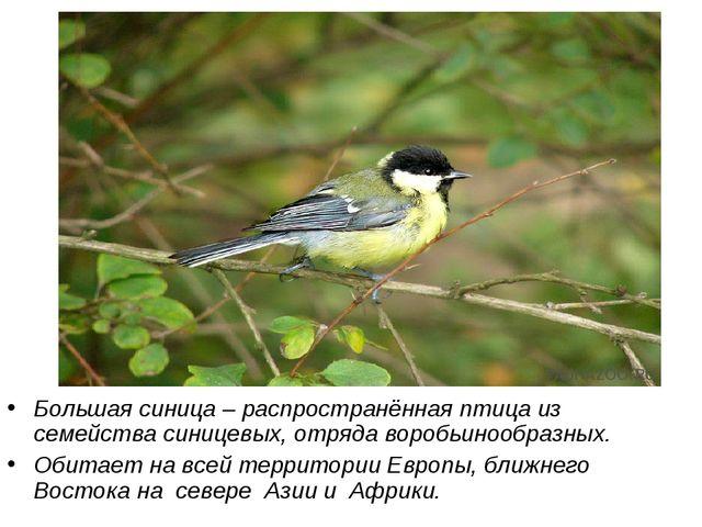 Большая синица – распространённая птица из семейства синицевых, отряда воробь...