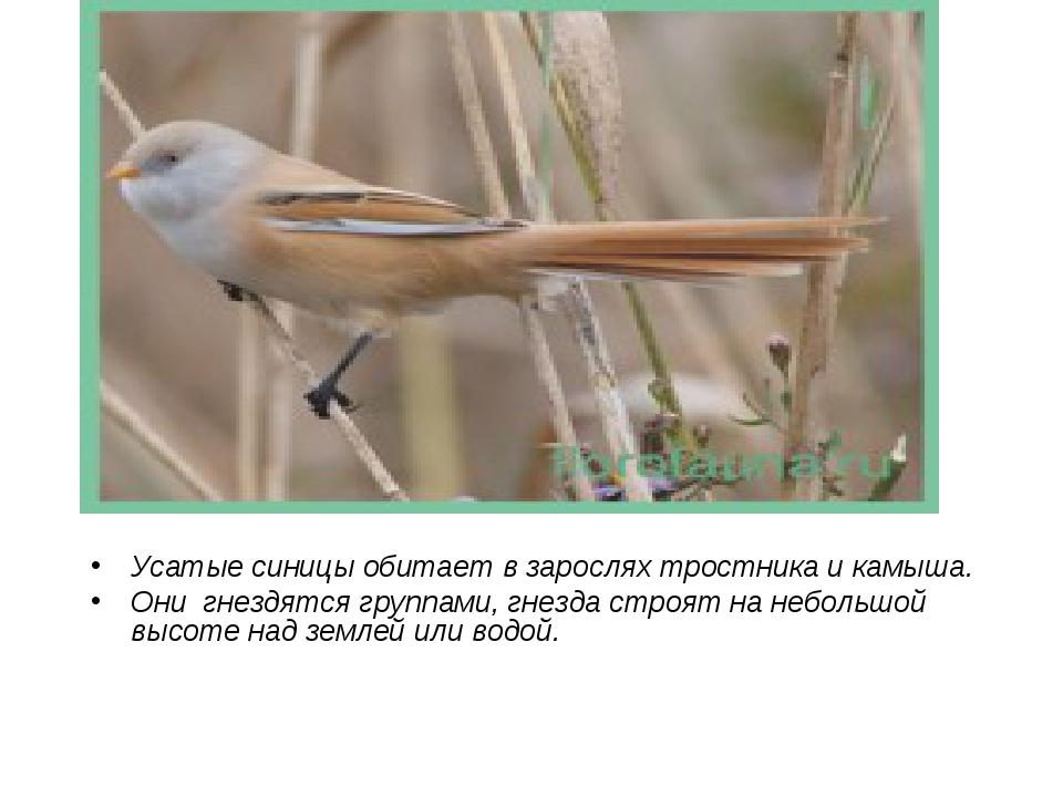 Усатые синицы обитает в зарослях тростника и камыша. Они гнездятся группами,...
