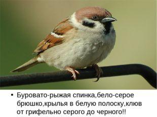 Буровато-рыжая спинка,бело-серое брюшко,крылья в белую полоску,клюв от грифел