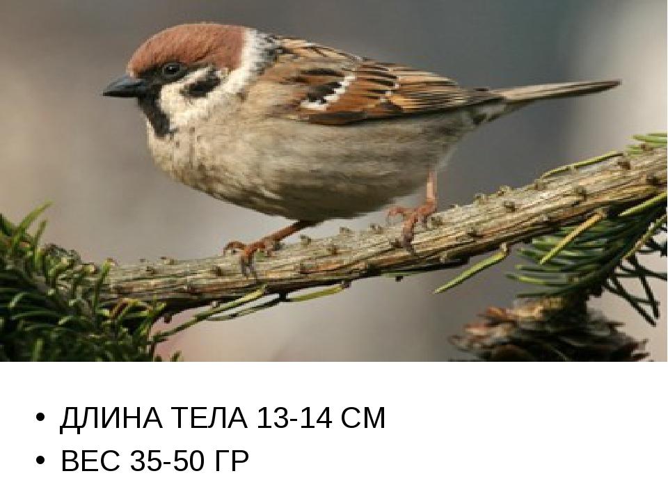 ДЛИНА ТЕЛА 13-14 СМ ВЕС 35-50 ГР