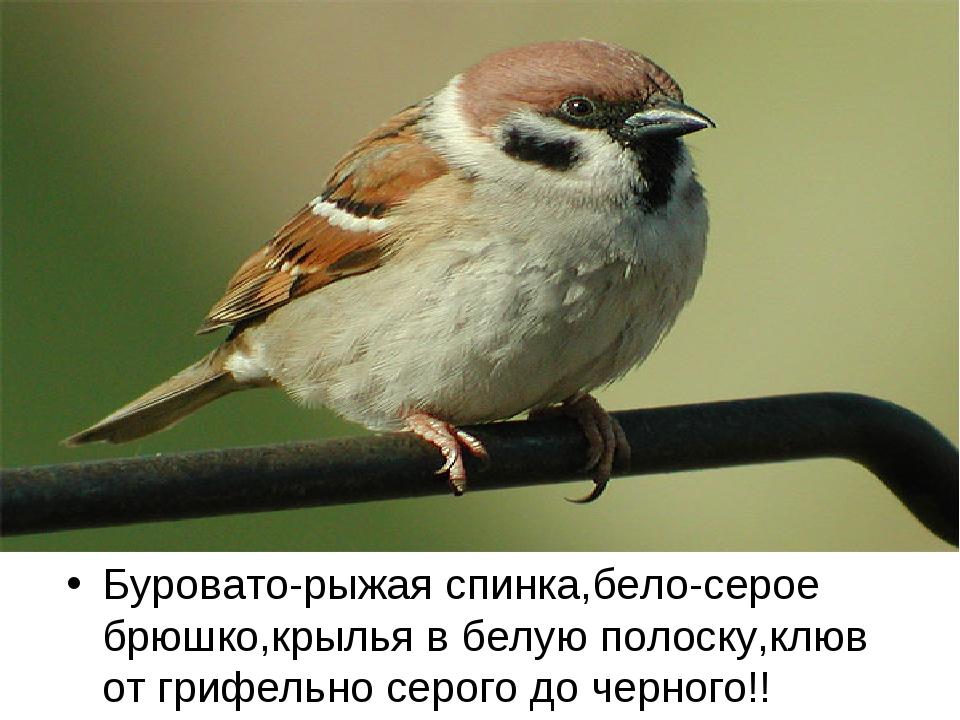 Буровато-рыжая спинка,бело-серое брюшко,крылья в белую полоску,клюв от грифел...