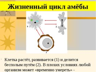 Клетка растёт, развивается (1) и делится бесполым путём (2). В плохих услови