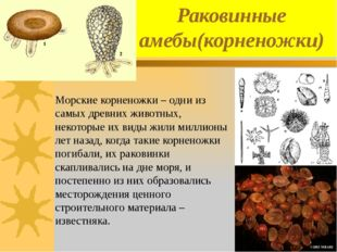 Раковинные амебы(корненожки) Морские корненожки – одни из самых древних живот