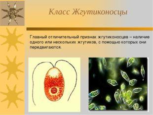 Класс Жгутиконосцы Главный отличительный признак жгутиконосцев – наличие одно