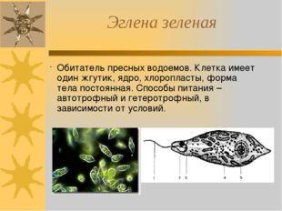 Эглена зеленая Обитатель пресных водоемов. Клетка имеет один жгутик, ядро, хл