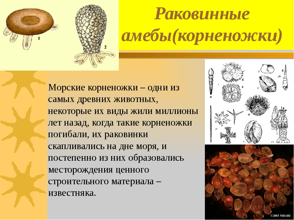 Раковинные амебы(корненожки) Морские корненожки – одни из самых древних живот...