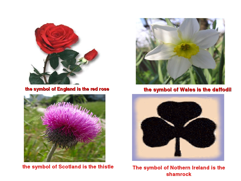 the symbol of England is the red rose the symbol of Wales is the daffodil th...