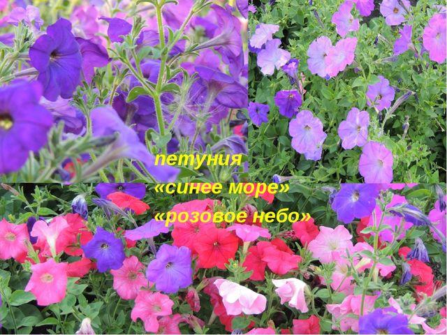 петуния петуния «синее море» «розовое небо»