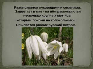 Размножается луковицами и семенами. Зацветает в мае - на нём распускаются не