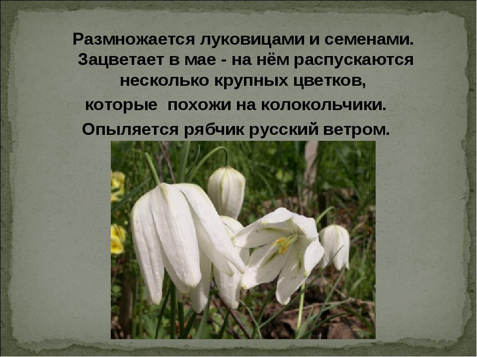 Размножается луковицами и семенами. Зацветает в мае - на нём распускаются не...