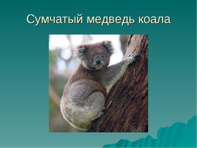 Сумчатый медведь коала