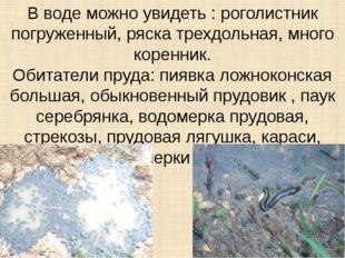 В воде можно увидеть : роголистник погруженный, ряска трехдольная, много коре