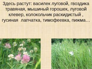 Здесь растут: василек луговой, гвоздика травяная, мышиный горошек, луговой кл