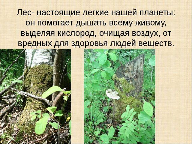 Лес- настоящие легкие нашей планеты: он помогает дышать всему живому, выделяя...