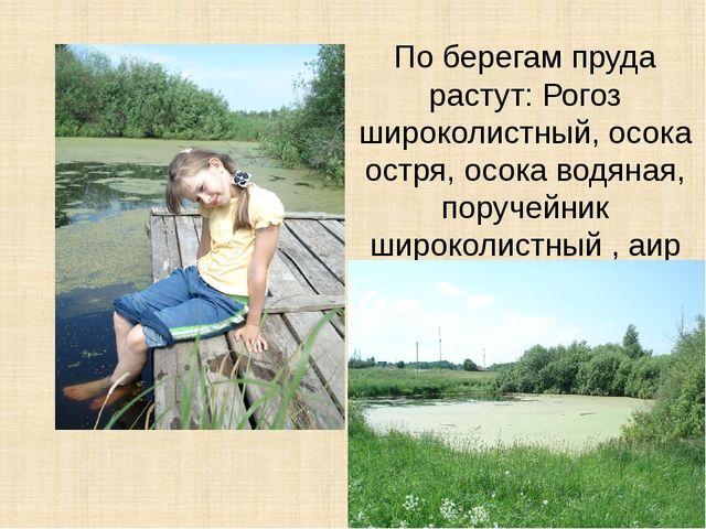 По берегам пруда растут: Рогоз широколистный, осока остря, осока водяная, пор...