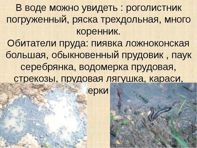 В воде можно увидеть : роголистник погруженный, ряска трехдольная, много коре...