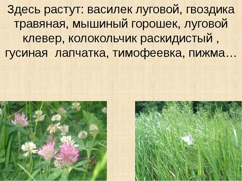 Здесь растут: василек луговой, гвоздика травяная, мышиный горошек, луговой кл...
