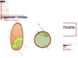 Эндосперм – запасающая ткань семени.