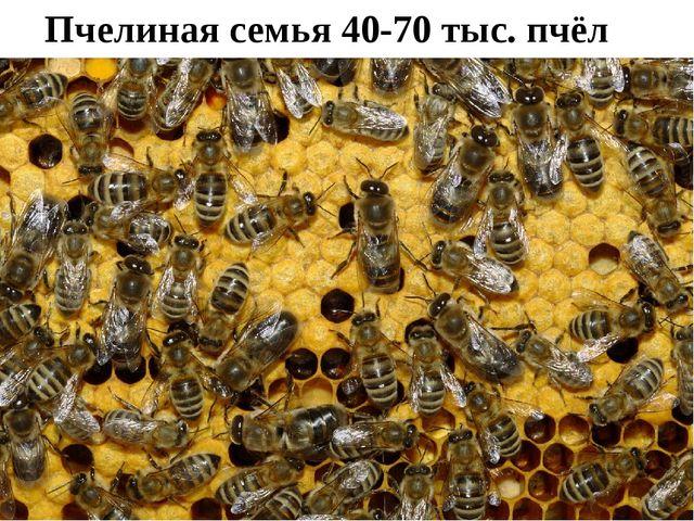 Пчелиная семья 40-70 тыс. пчёл
