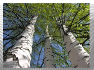 О берёзе говорили: «Есть дерево об четыре дела: первое дело- мир освещает; др