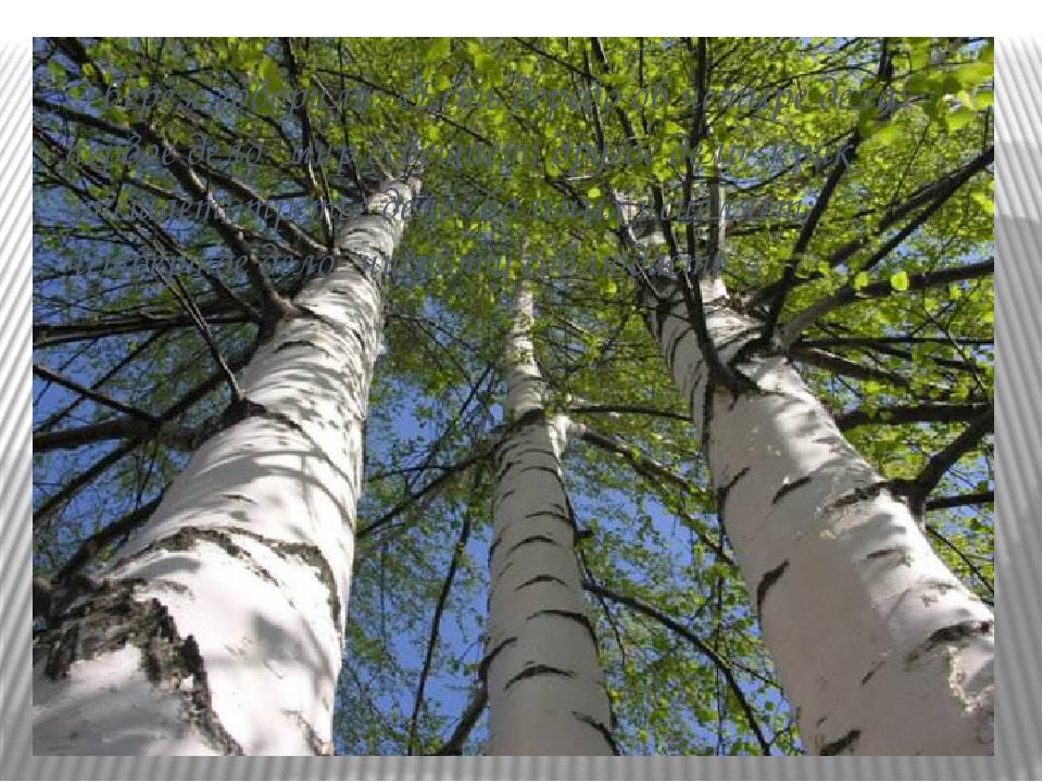 О берёзе говорили: «Есть дерево об четыре дела: первое дело- мир освещает; др...