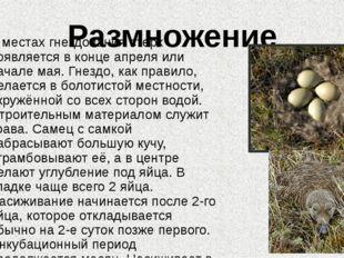 Размножение В местах гнездования стерх появляется в конце апреля или начале м