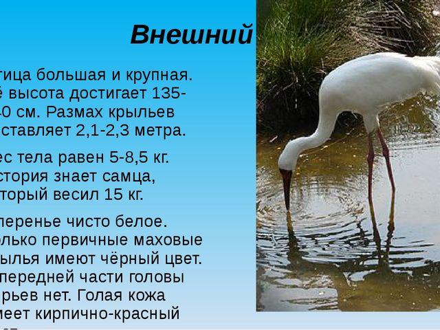 Внешний вид Птица большая и крупная. Её высота достигает 135-140 см. Размах к...