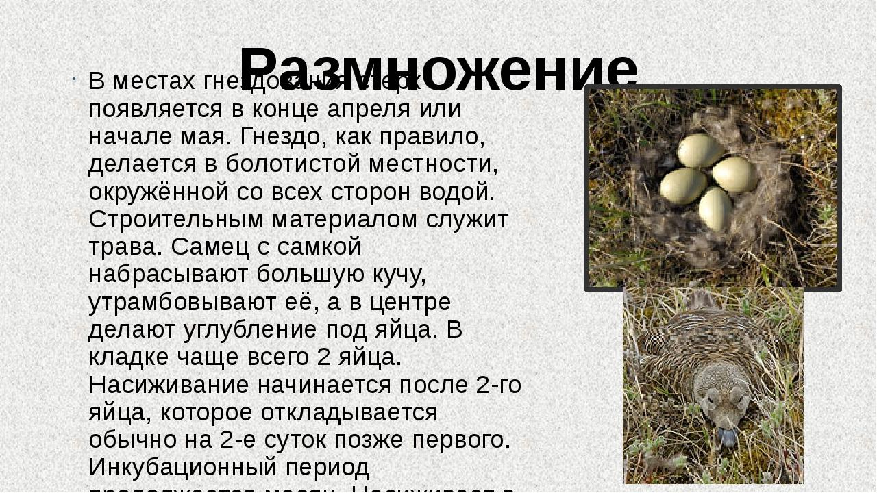 Размножение В местах гнездования стерх появляется в конце апреля или начале м...