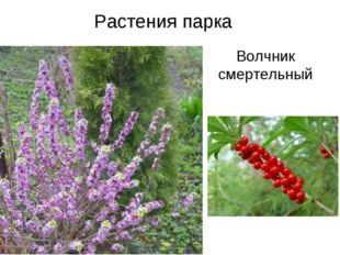 Растения парка Волчник смертельный