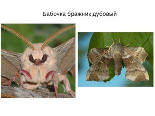 Бабочка бражник дубовый